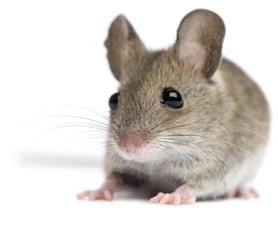mice-stem-cells-101209-675634-